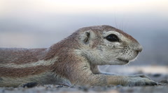 Resting ground squirrel, Kalahari desert, South Africa Stock Footage