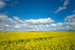 Field of rapeseed and blue sky Stock Photos