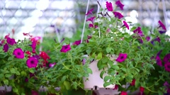 Decorative flowers in the pot. decorative plant gardening hobby Stock Footage