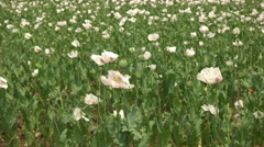 Opium poppy plants growing in tasmania, australia Stock Footage