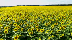 Aerial photography field with sunflowers Stock Footage
