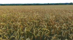 Aerial photography field of wheat Stock Footage