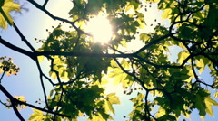 Spring nature panoramic scene lengthwise flowering maple tree with lens flare Stock Footage