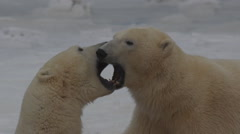 Slow motion - tight on polar bears mouth sparring with fangs on sea ice Stock Footage