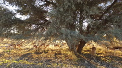 Springbok antelopes grazing, Kalahari desert, South Africa Stock Footage
