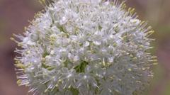 Onion flower macro - stock footage