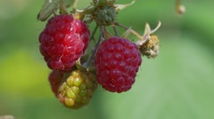 Ripe and ripening raspberries Stock Footage