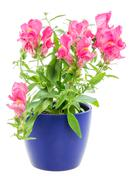 Isolated potted blue Antirrhinum flower Stock Photos
