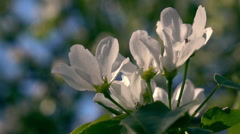 Panoramic scene of blooming pear tree branch trembling on the wind. Slo-mo Stock Footage