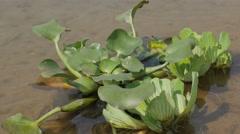Water lettuce in river,Chitwan,Nepal - stock footage