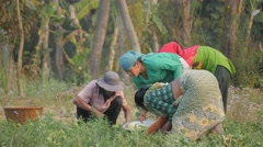 Women working in field,Chitwan,Nepal Stock Footage