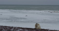 Two polar bears wrestle and spar on beach with sea ice and windy sea Stock Footage