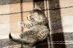 Little Tabby Kitten - stock photo