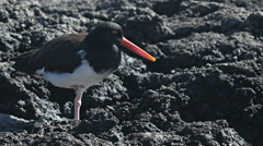 American oystercatcher at bachas beach on isla santa cruz in the galapagos Stock Footage