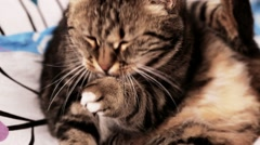 European cat, washing, cleaning sitting on the bed Stock Footage