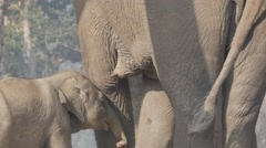 Baby Elephant drinking milk with mother,Chitwan,Nepal - stock footage