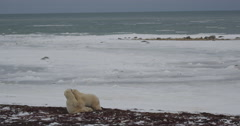 Two polar bear on frozen beach stand and spar while fighting and shoving - stock footage