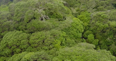 Aerial flying over a pohutukawa trees in Maitai Bay, Northland, New Zealand Stock Footage