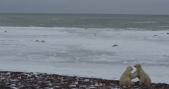 Polar bear bites face of friend as they spar and wrestle on icy beach on bay Stock Footage