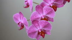 Orchid flowers with water drops after spraying Stock Footage