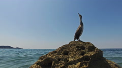 4K. Close-up view of wild bird Great Cormorant sitting on a rock in the sea. Stock Footage