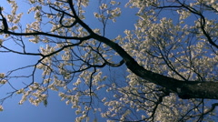 Round looking up panoramic scene of blooming cherry tree crowns. Slow-mo Stock Footage