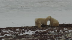 Slow motion - three polar bears wrestle and play on icy beach on cloudy day Stock Footage
