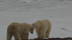 Slow motion - polar bears shake and sit and yawn and then spar and snuggle - stock footage