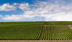 Columbia River Gorge Grape Plantation Fruit Orchard Agriculture Food Crop Stock Photos