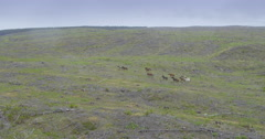 Aerial of herd of wild horses running on deforested land, northland, new zealand Stock Footage