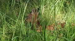 Wild Roe deer in tall green grass Stock Footage