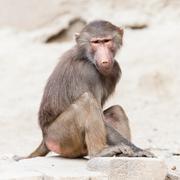 Female macaque monkey Stock Photos