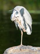 Great Blue Heron standing quietly Stock Photos