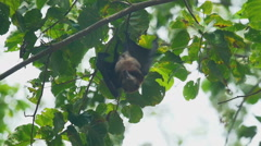 Flying fox hangs on a tree branch Stock Footage