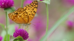 Butterfly drinking nectar from Bachalor's Button flower Stock Footage