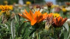 Wind blows flower Stock Footage