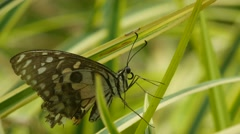 Old Swallowtail butterfly resting on the leaf Stock Footage