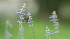 Skipper butterfly drinking nectar from blue salvia flower Stock Footage
