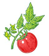 Tomato bunch with leaf. Vector engraved illustration isolated on white backgr Stock Illustration