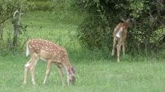 Pair of White-tailed Deer Fawns (Odocoileus virginianus) Stock Footage