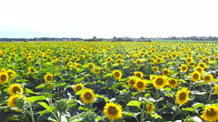 Flying over sunflower field with blossoming flowers 4K - stock footage