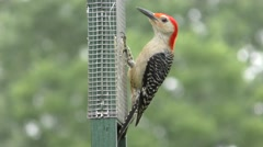 Male Red-bellied Woodpecker (Melanerpes carolinus) Stock Footage
