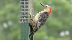 Female Red-bellied Woodpecker (Melanerpes carolinus) Stock Footage