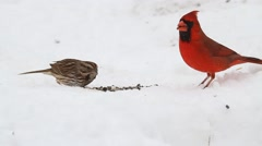 Flock of Songbirds in Snow Stock Footage