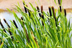 Bulrush plants in the swamp Stock Photos