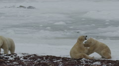Slow motion - two polar bears grapple on ice while third watches Stock Footage