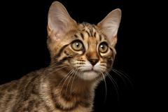 Closeup Portrait of Bengal Kitty Isolated Black Background - stock photo