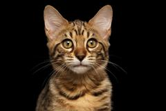 Closeup Portrait of Bengal Kitty Isolated Black Background Stock Photos