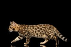 Playful Bengal Kitty Walking on Isolated Black Background Stock Photos