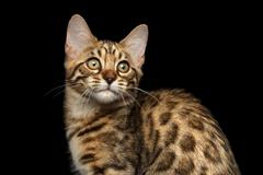 Closeup Bengal Kitty on Isolated Black Background - stock photo